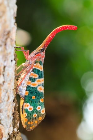 lanternfly, the insect on tree fruits. FULGORID  PLANTHOPPERS. Stock Photo - 19186679