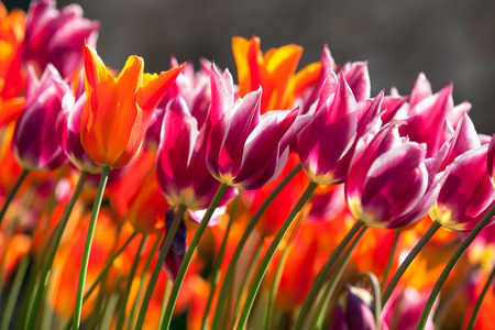 colorful tulips in spring time Stock Photo