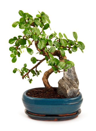 blooming bonsai tree in blue pot isolated on white Stock Photo
