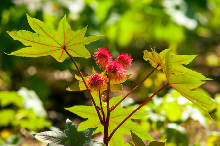 Castor oil plant detail, Ricinus communis - poisonous plants used for the treatment