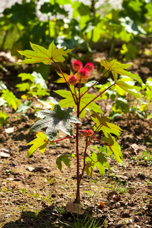Castor oil plant, Ricinus communis - poisonous plants used for the treatment