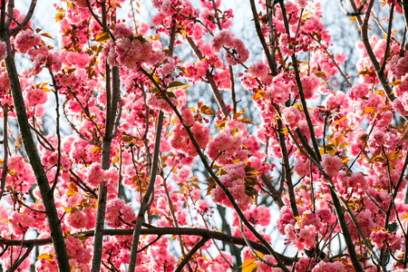 Sun light branches of rosy flowers in the springtime Stok Fotoğraf