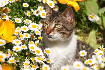 cat poses in daisies and tulips garden