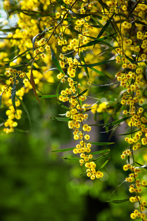 type of tree flowers: mimosa Stock fotó