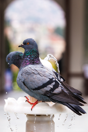 two colorful pigeon, on fountain Stock Photo