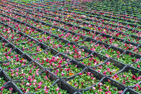 violet flower crates, warehouse space. platform for the trade with flowers and ornamental plants.