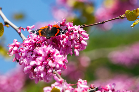 Vanessa atalanta, red admiral Butterfly on Redbud tree