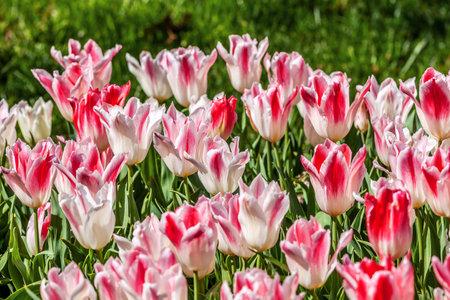 white pink tulips in full bloom. Annual tulip festival in Istanbul. Emirgan Park
