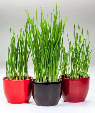 Fresh green wheatgrass growing in black and red pots, on a gray background
