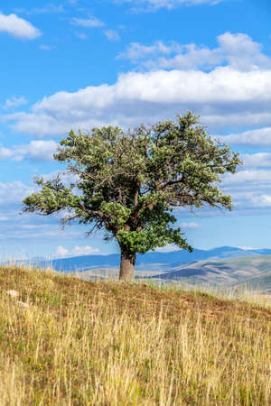 Old wild pear tree growing on top of hill under blue sky Banque d'images
