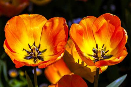 two orange tulips detail on spring time