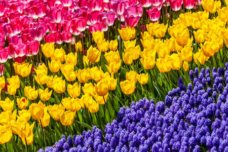 yellow, pink tulips and blue muscari spring flowers