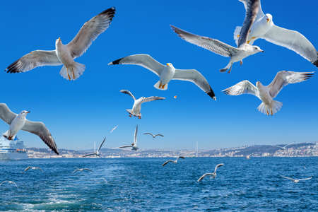 Seagulls following the ferry, Bosphorus bridge and cityscape, Istanbul - Turkey Banque d'images
