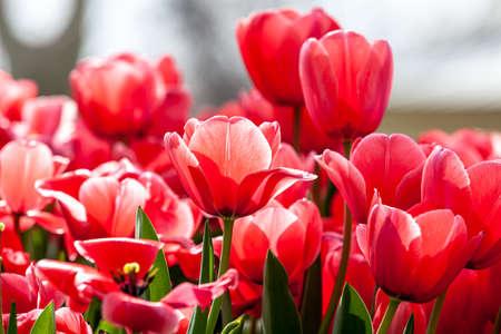 Pink tulips in full bloom in public park