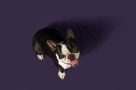 downward shot of happy young boston terrier smiling looking at the camera Фото со стока