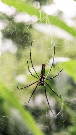 A female giant woods spider in the mountain forest of Taipei, big legs were about 15cm from tip to tip, Taiwan