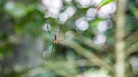 A female giant woods spider in the mountain forest of Taipei, big legs were about 15cm from tip to tip, Taiwan 免版税图像