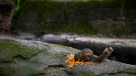 Una linda ardilla de Pallas está comiendo en la roca de la selva tropical en Taiwán