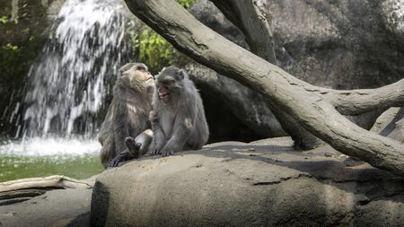 A funny scene of laughing monkeys. Two adults Formosan rock macaques sitting on the ground near to the warter river. Waterfall at the background. Reklamní fotografie - 125072503