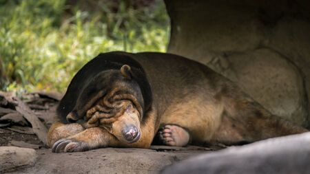 Sun Bear sleeping in forest between rocks and trees. Asiatic Honey Bear in nature wildlife. Helarctos malayanus species living in tropical forest habitats of Southeast Asia 免版税图像