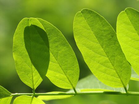 Acacias leaf sunlit.