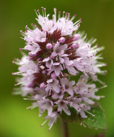 Mint Flower in close-up view with greenblured background.