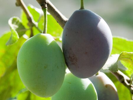 edibles: Plums on plum tree...