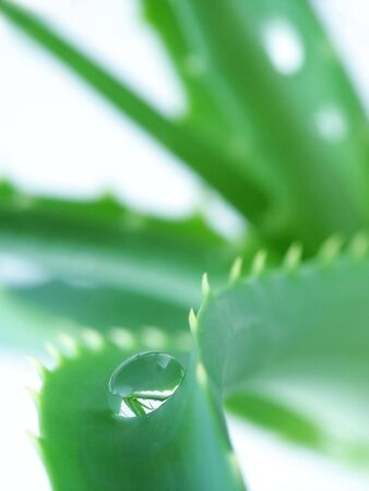 Drop of Water on Aloe Leaf photo