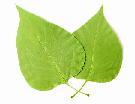 parentage: Two Leaves on white background.