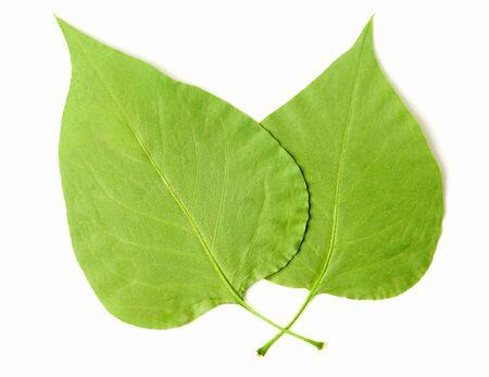 descendants: Two Leaves on white background.