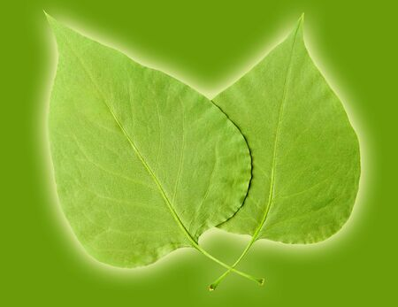 descendants: Two Leaves on green background with glow. Stock Photo