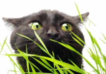 Black Cat. Grass nicht schadet!?  Standard-Bild