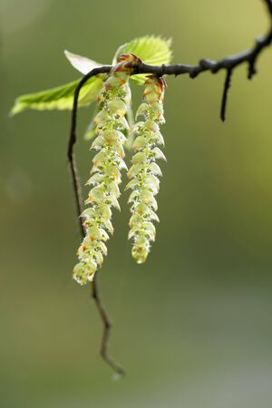 Hazel Catkins on a green background. Bright spring day. photo