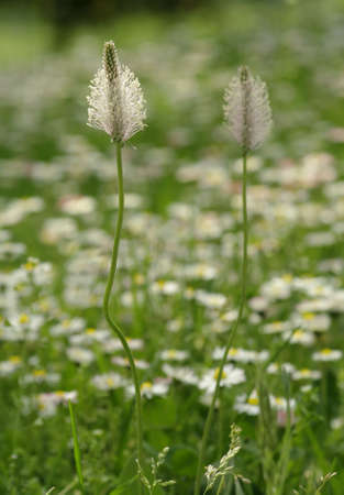 plantain: Inflorescence of Ribwort Plantain. Herbal Remedy. Plantago.