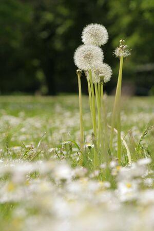 expectorant: Meadow with Dandelions. Stock Photo