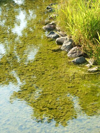 rushy: River with bloom Alga under water. Grass and Stones.