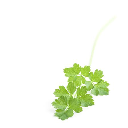 Sprig of fresh green Parsley isolated over white background. Square format. Stock Photo - 7896805