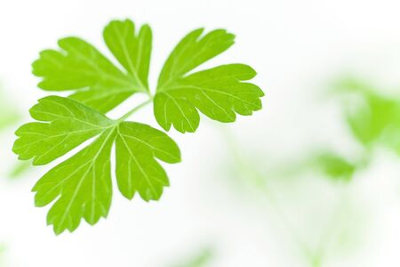 Sprig of fresh green Parsley isolated over white background. Square format. Stock Photo - 7896806