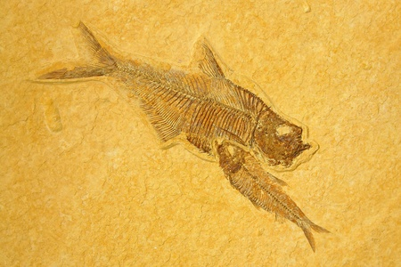 fossilized: Fossil skeletons Fishes in sandstone.