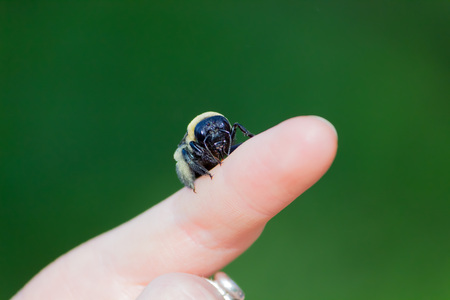 alergy: Carpenter bumble Bee sitting on a  hand