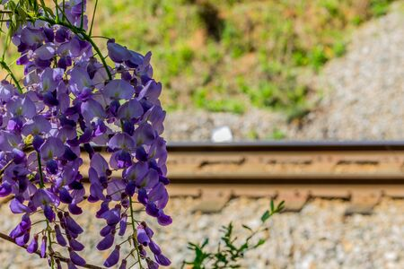 railroad: Purple flowers hanging from a branch with railroad tracks in the  background