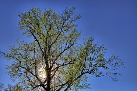 sun lit: Green tree with sun lit backlight and blue  sky