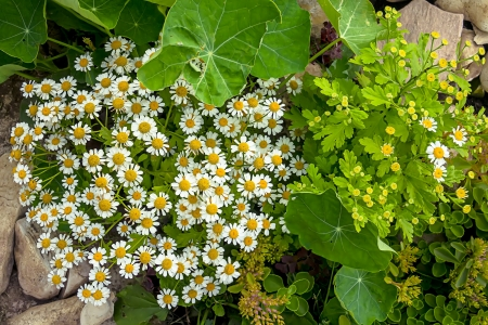 chamomile and other grass photo