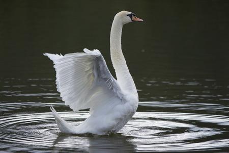 elegancy: Beautiful wild bird swan swims in a lake