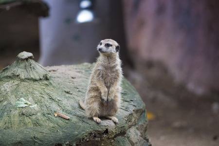 wild animal: Wild animal meerkat burrow protects from hishnikov Stock Photo