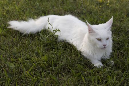 interrogative: Large white beautiful wild cat Mei Kung pet Stock Photo
