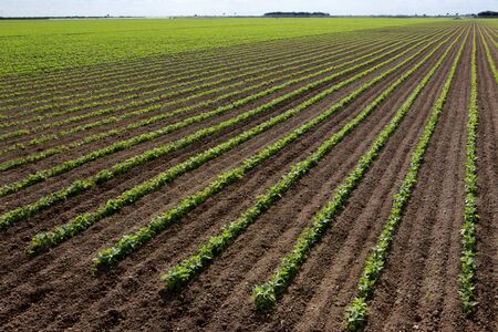land management: Bean field 2 Stock Photo