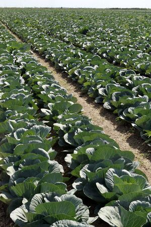 land management: Cabbage field 1 Stock Photo