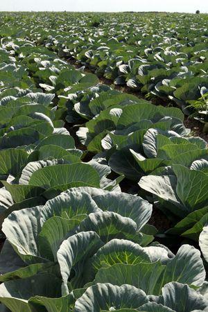 land management: Cabbage field 2