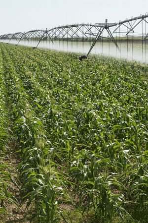 land management: Irrigating a corn field 1 Stock Photo